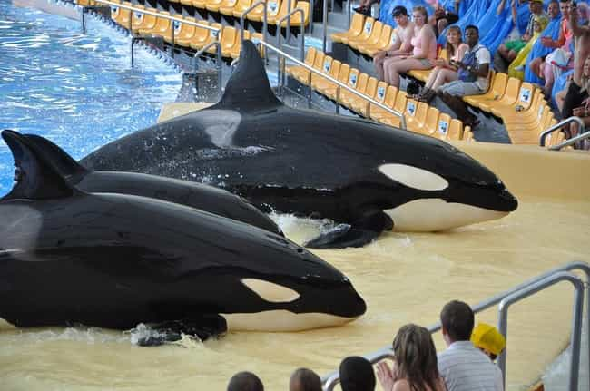 Orca Accosted Inexperienced Tr... is listed (or ranked) 4 on the list The 11 Most Awful Incidents to Ever Happen at SeaWorld