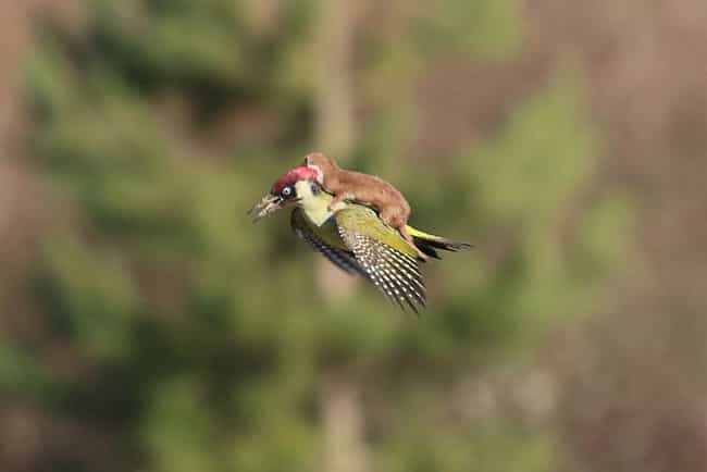 A Baby Weasel Rides a Wo... is listed (or ranked) 1 on the list The 20 Greatest Pictures of Animals Riding Other Animals