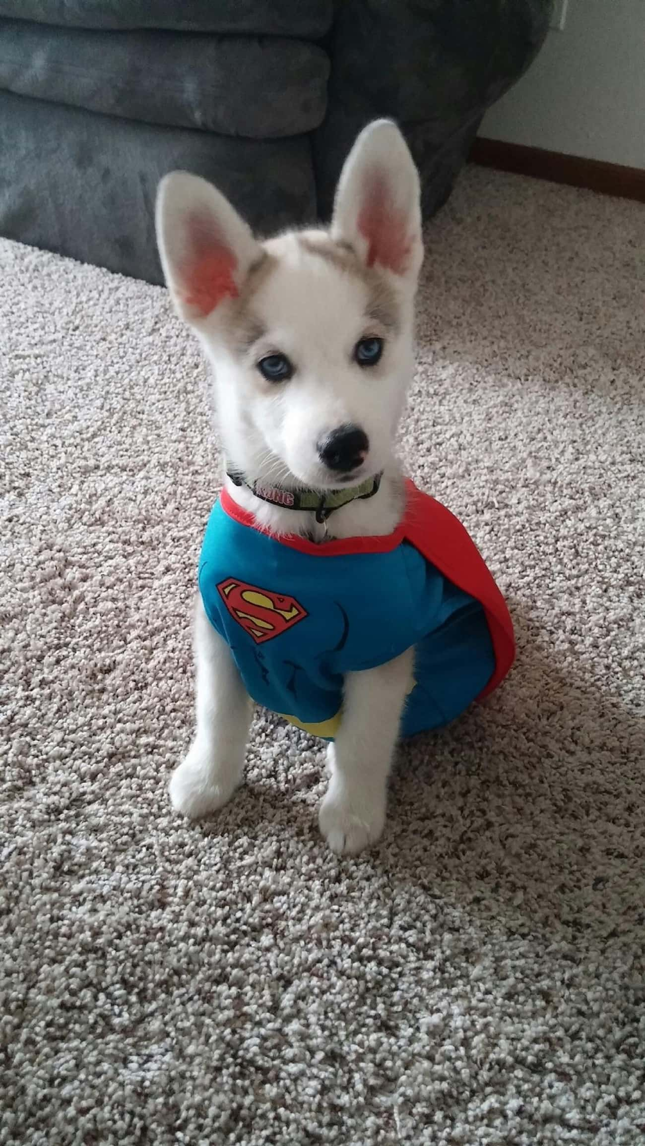 It's A Bird...It's A P is listed (or ranked) 1 on the list The Cutest Dogs Dressed as Superheroes