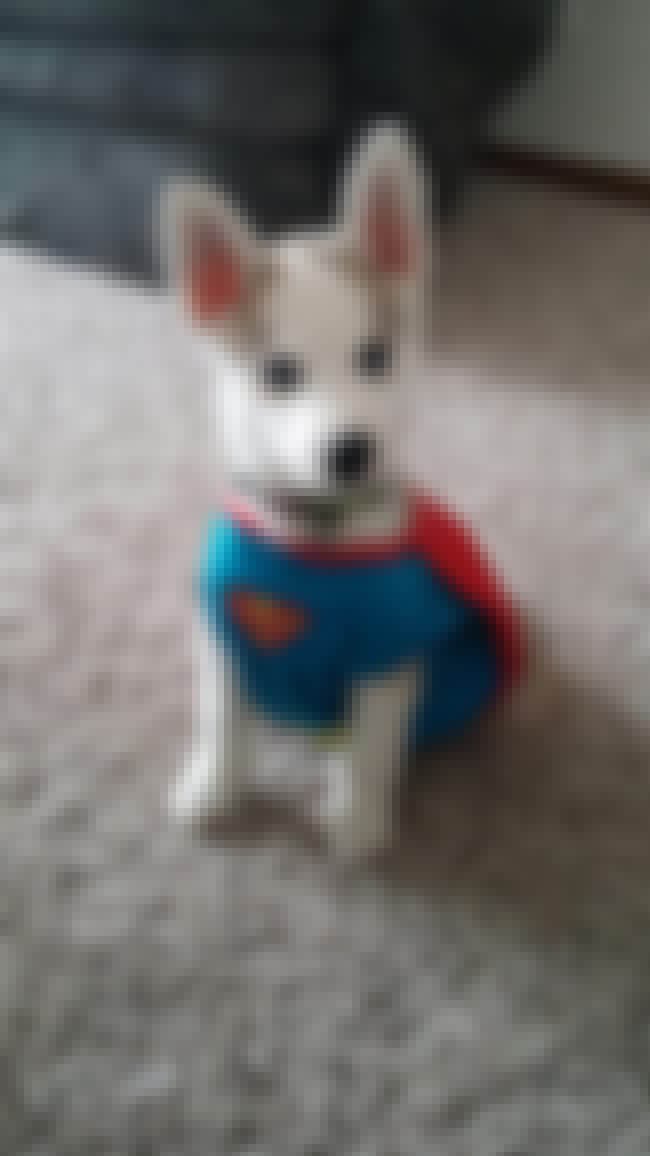 It's A Bird...It's A P... is listed (or ranked) 3 on the list The Cutest Dogs Dressed as Superheroes