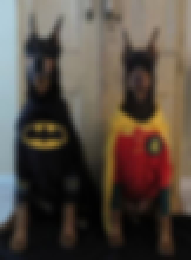 Dynamic Doberman Duo is listed (or ranked) 2 on the list The Cutest Dogs Dressed as Superheroes