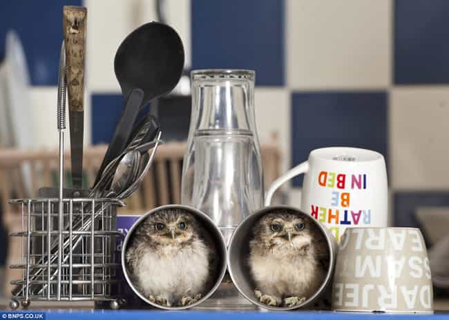 Owl Do the Dishes Later is listed (or ranked) 1 on the list Adorable Animals Sitting in Cups