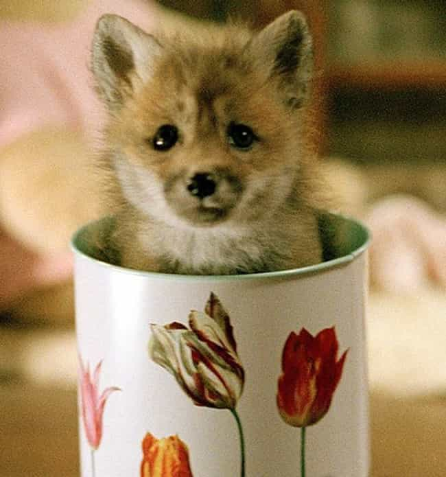 "The Fox Says "" Look at Me ... is listed (or ranked) 3 on the list Adorable Animals Sitting in Cups"