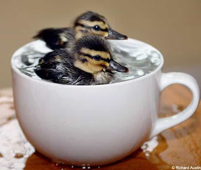 These Ducklings Are Learning t... is listed (or ranked) 2 on the list Adorable Animals Sitting in Cups