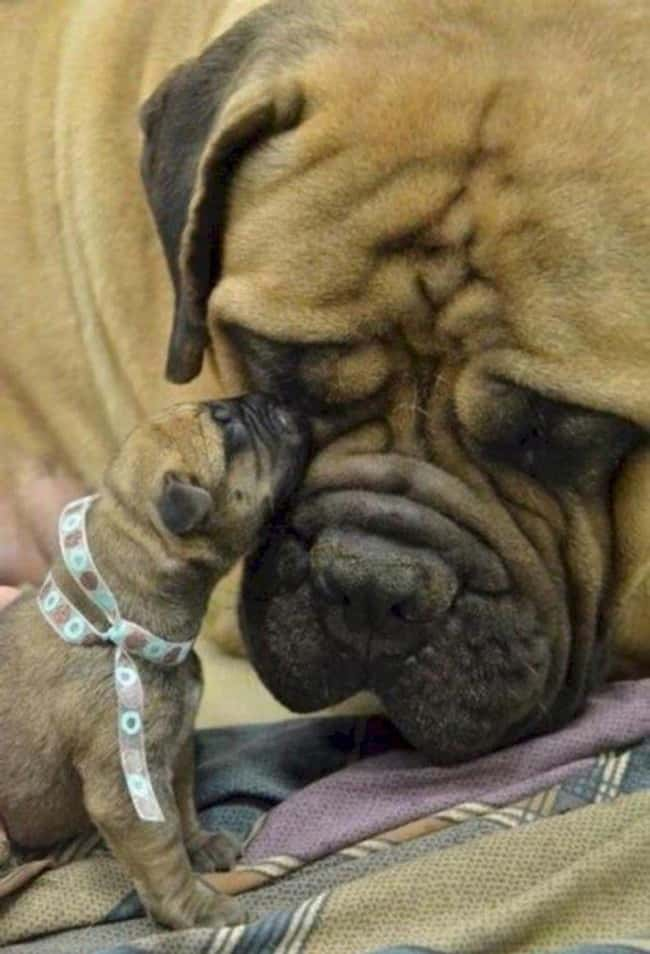 """""""What Big... Everything Yo is listed (or ranked) 6 on the list The Cutest Photos of Dogs with Their Mini-Me Puppies"""