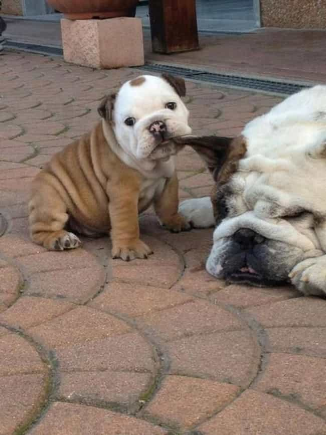 """Daaaad, You've Bee... is listed (or ranked) 2 on the list The Cutest Photos of Dogs with Their Mini-Me Puppies"