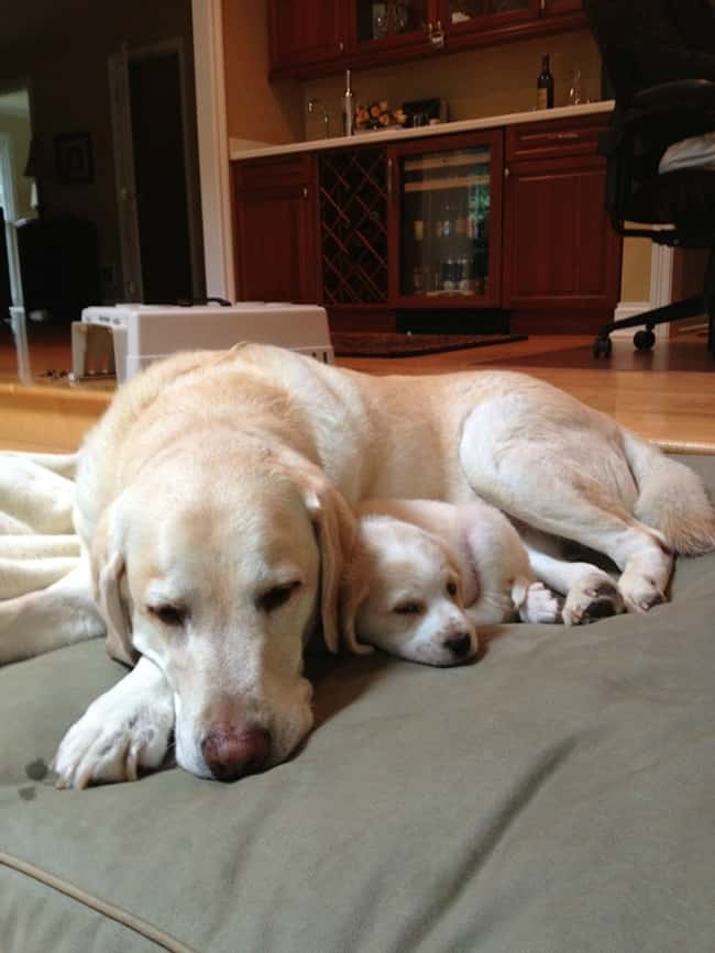 Never Underestimate the Power is listed (or ranked) 7 on the list The Cutest Photos of Dogs with Their Mini-Me Puppies