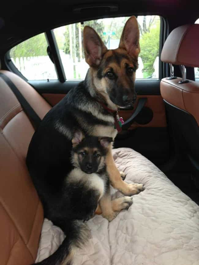 Family Road Trip! is listed (or ranked) 4 on the list The Cutest Photos of Dogs with Their Mini-Me Puppies