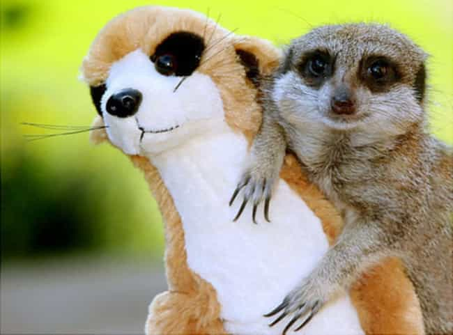 This Meercat and His Fuzzy Fri... is listed (or ranked) 2 on the list Real Animals with Stuffed Animals