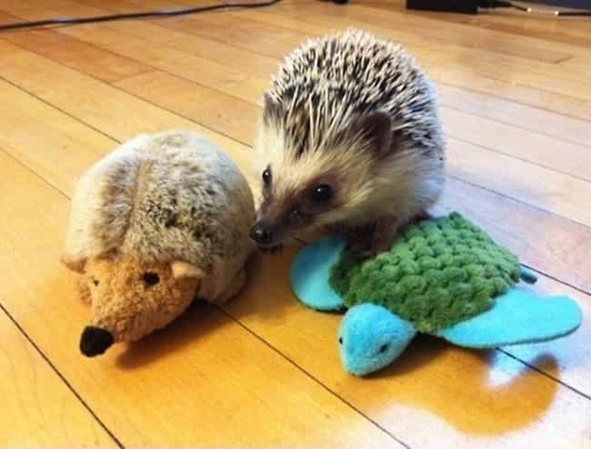 This Hedgehog and His Homie is listed (or ranked) 1 on the list Real Animals with Stuffed Animals