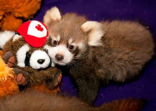 This Red Panda Cub and Her Col... is listed (or ranked) 3 on the list Real Animals with Stuffed Animals