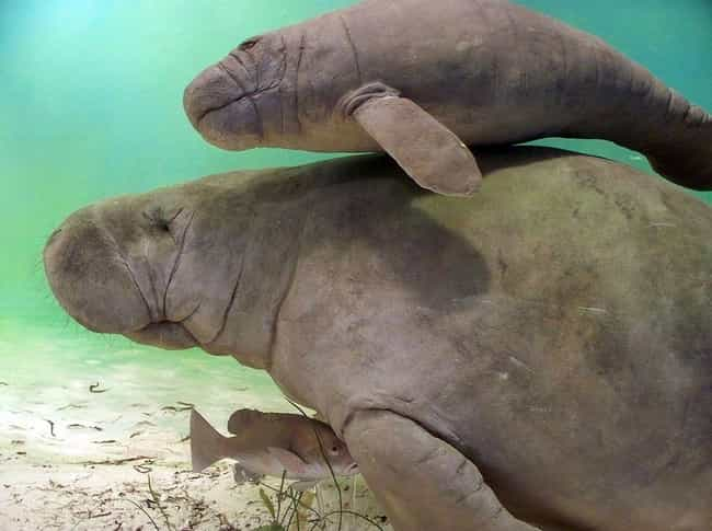 Seaworld's Good Side: Manatee ... is listed (or ranked) 2 on the list 26 Things You Should Know About SeaWorld