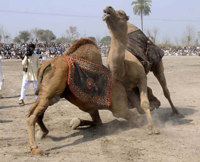 Camel Wrestling is listed (or ranked) 5 on the list The Weirdest Sports from Around the World
