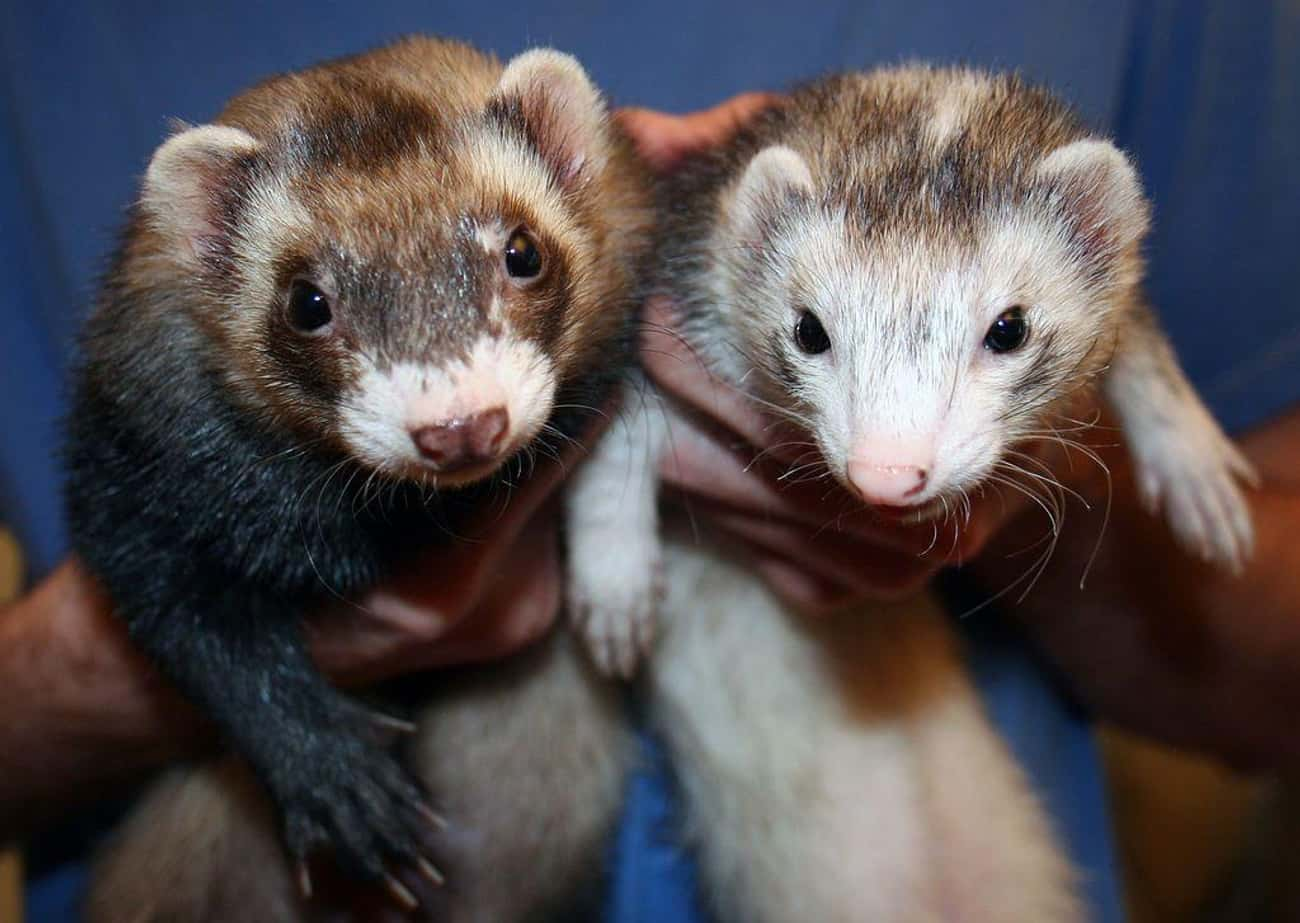 Ferret Legging is listed (or ranked) 2 on the list The Weirdest Sports from Around the World