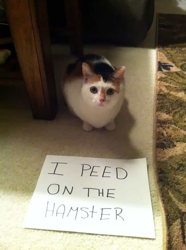 'I Peed On The Hamster' ... is listed (or ranked) 4 on the list The Best Cat Shaming Pictures on the Internet