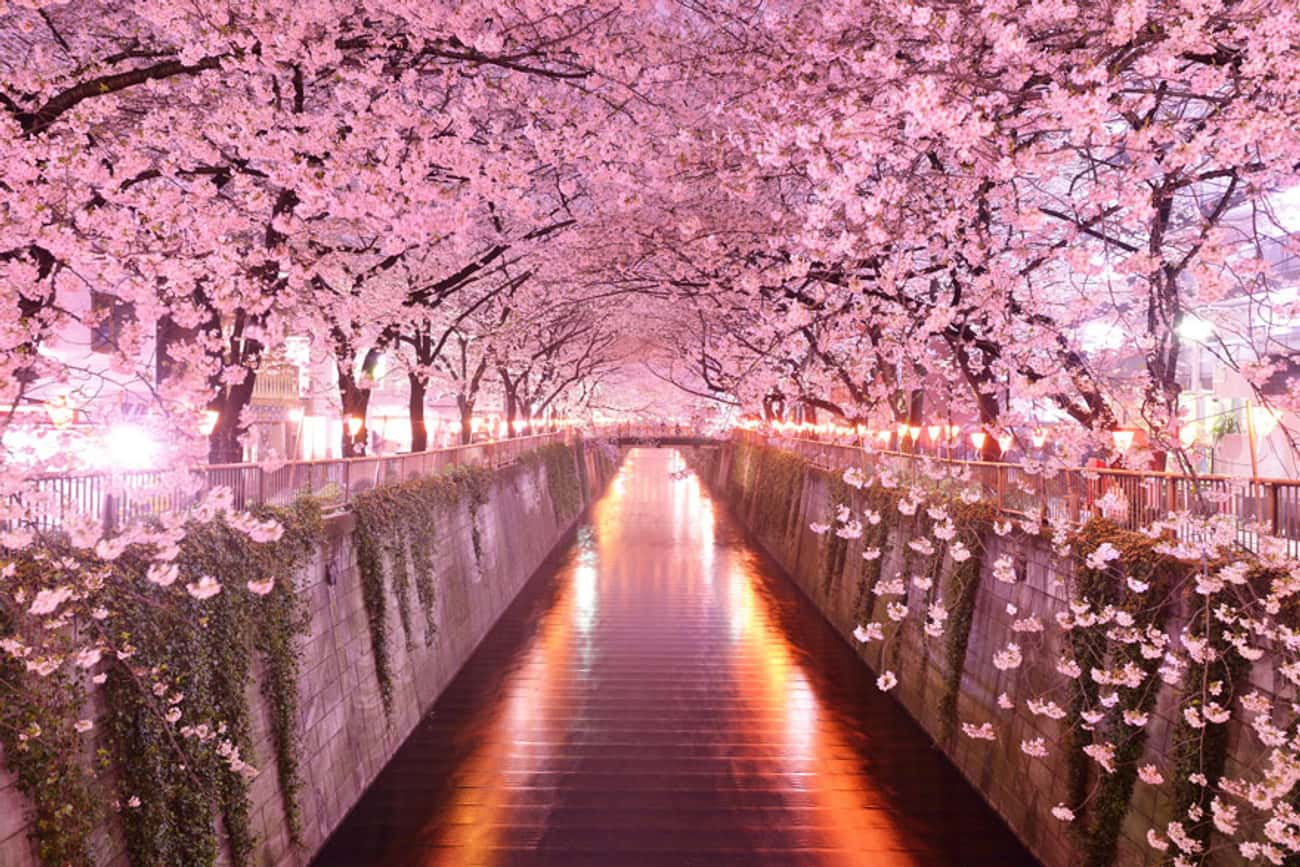 Cherry Blossom Tunnels in Japa is listed (or ranked) 4 on the list 40 Photos of Fantasy Landscapes That Really Exist