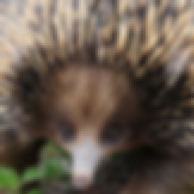 Male Echidnas Sometimes Mate w... is listed (or ranked) 3 on the list 10 Weird Facts Most People Don't Know About Echidnas