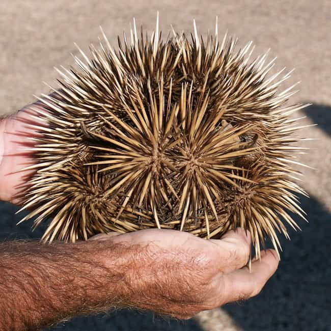 Echidnas Are Like This Big is listed (or ranked) 4 on the list 10 Weird Facts Most People Don't Know About Echidnas