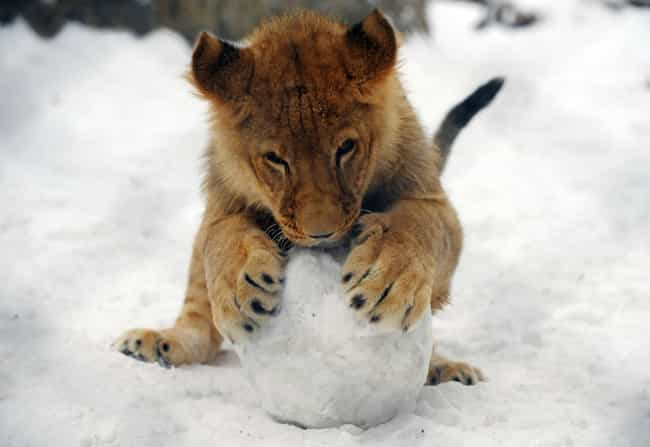 This Lion Cub Is Very Busy Bui... is listed (or ranked) 1 on the list 37 Wonderful Pictures of Animals in Action