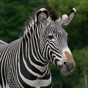 What Are Rules For Zebra Baseb is listed (or ranked) 10 on the list The Best Baseball Jokes