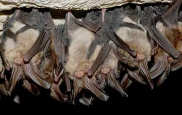 Bat is listed (or ranked) 2 on the list 13 Fascinating Animals That Hibernate