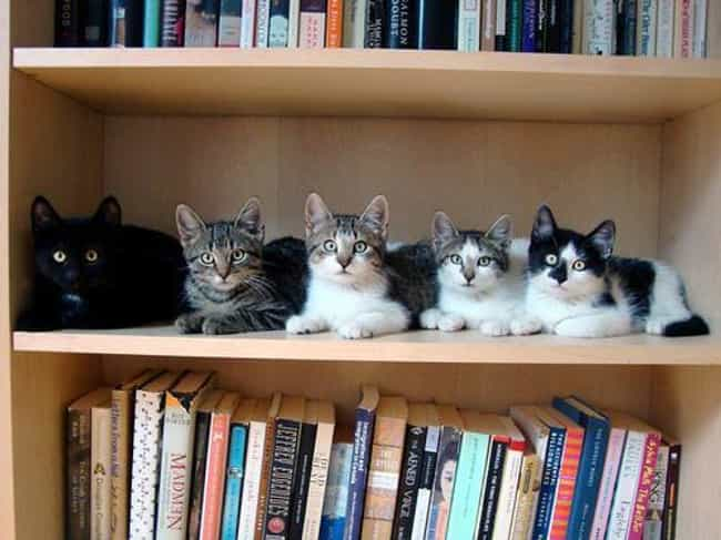 These Bookworm Cats Just Being... is listed (or ranked) 4 on the list 18 Cats Who Find Your Bookshelf More Comfy Than a Cat Bed