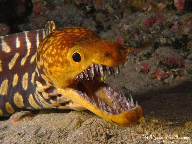 The Fangtooth Fish Has the Lar... is listed (or ranked) 2 on the list Pretty Cool And Kind Of Scary Facts About Ocean Creatures