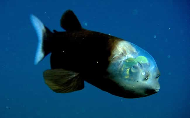 The Freaky Barreleye Has... is listed (or ranked) 1 on the list Pretty Cool And Kind Of Scary Facts About Ocean Creatures