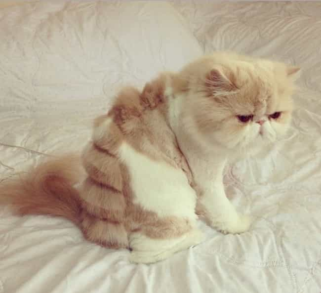 The Cutest Half-Shaved Cats on the Internet