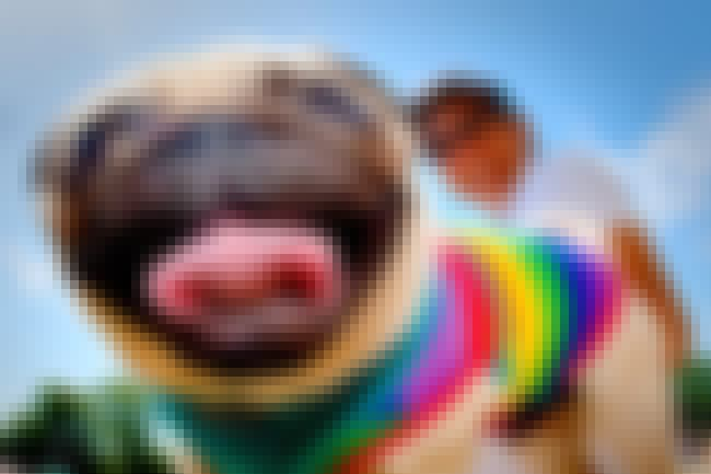 This Precious Pug Can't Ev... is listed (or ranked) 2 on the list Dogs All Decked Out in Gay Pride Apparel