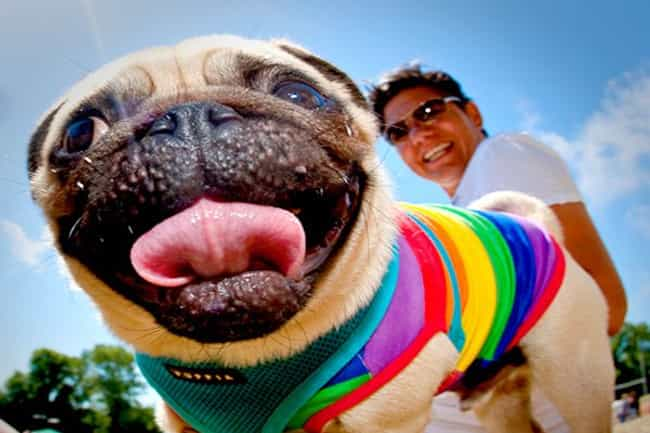 This Precious Pug Can't Ev... is listed (or ranked) 1 on the list Dogs All Decked Out in Gay Pride Apparel