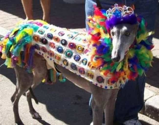 This Condom Covered Diva Remin... is listed (or ranked) 3 on the list Dogs All Decked Out in Gay Pride Apparel
