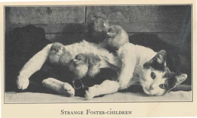 This Foster Mom and Her Feathe... is listed (or ranked) 4 on the list 20 Adorable Pictures of Cats Throughout History