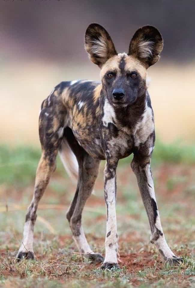 This Dog Claims His Ears... is listed (or ranked) 1 on the list Dogs So Ugly They Are Cute