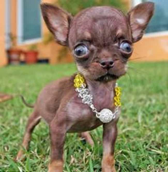 """""""Come At Me, Bro!&q... is listed (or ranked) 2 on the list Dogs So Ugly They Are Cute"""