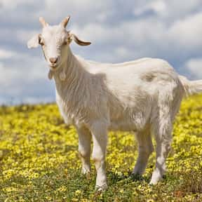 Escape Goat is listed (or ranked) 25 on the list The Trickiest Eggcorns In The English Language