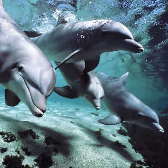 Dolphins Love to Be Heroes is listed (or ranked) 2 on the list 24 Sort of Creepy Ways Animals Are Like Humans