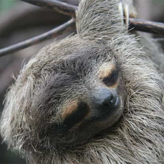 Sloths Sleep as Much as Humans... is listed (or ranked) 3 on the list 24 Sort of Creepy Ways Animals Are Like Humans