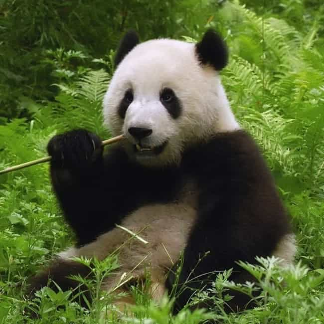 Pandas Display Etiquette When ... is listed (or ranked) 4 on the list 24 Sort of Creepy Ways Animals Are Like Humans