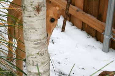 Stealth Tip: Be Aware That Sno is listed (or ranked) 6 on the list 22 Dogs Who Think They're Hiding