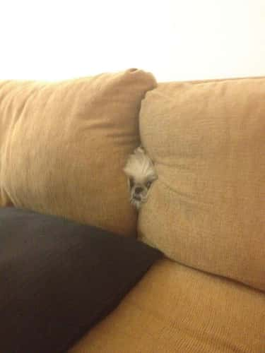 Stealth Tip: 'Fluffy' Is Not N is listed (or ranked) 5 on the list 22 Dogs Who Think They're Hiding