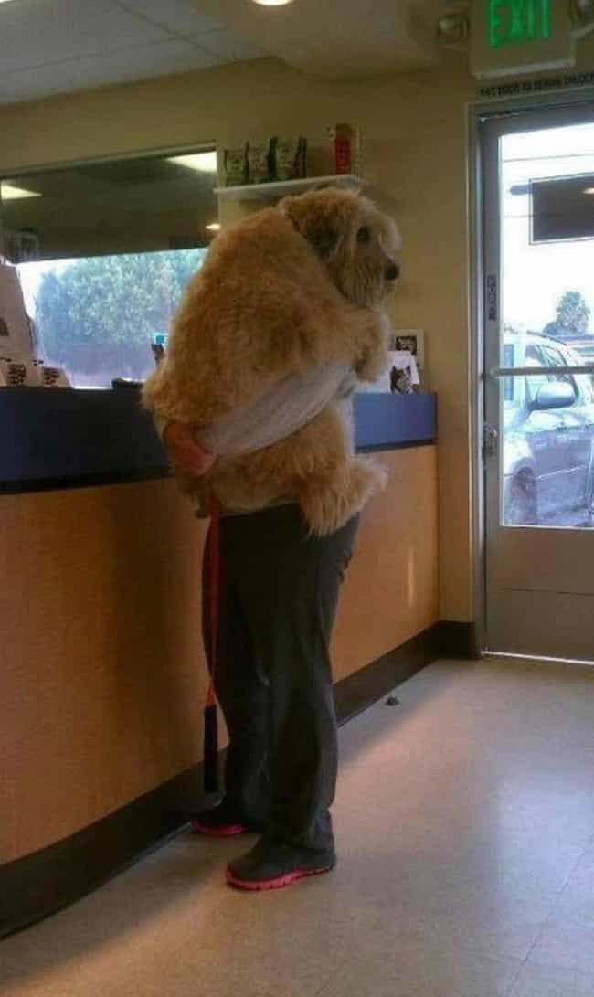 No Matter How Big You Are, Vet... is listed (or ranked) 3 on the list Huge Dogs Who Have No Idea They're Enormous