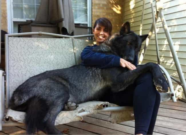 """""""I Can Has Wolf Pac... is listed (or ranked) 7 on the list Huge Dogs Who Have No Idea They're Enormous"""