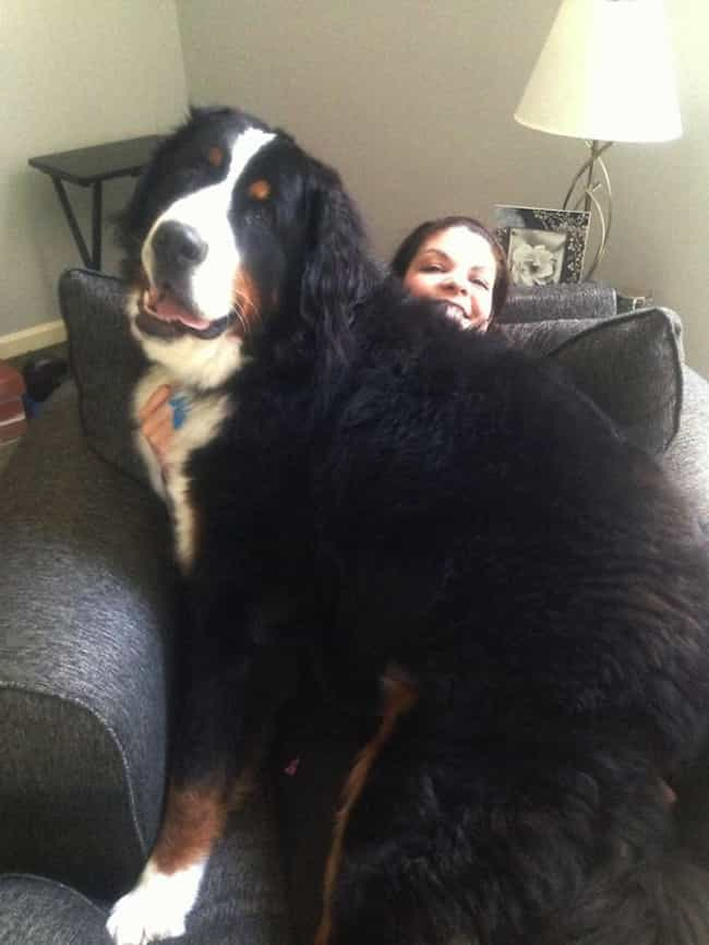 Jumbo-Sized Affection is listed (or ranked) 6 on the list Huge Dogs Who Have No Idea They're Enormous