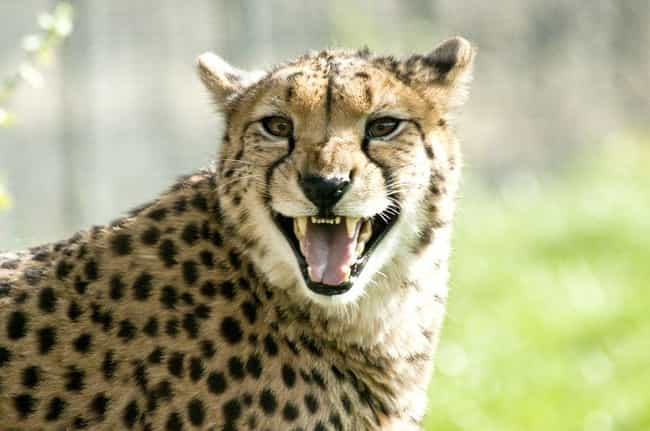 Chill with a Cheetah at South ... is listed (or ranked) 2 on the list The Best Vacation Spots for Animal Lovers