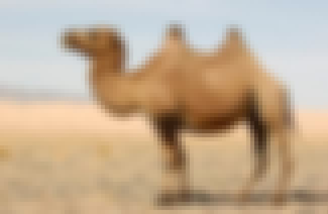 Saudi Arabia Imports Camels fr... is listed (or ranked) 3 on the list The Most Unbelievable True Facts Ever
