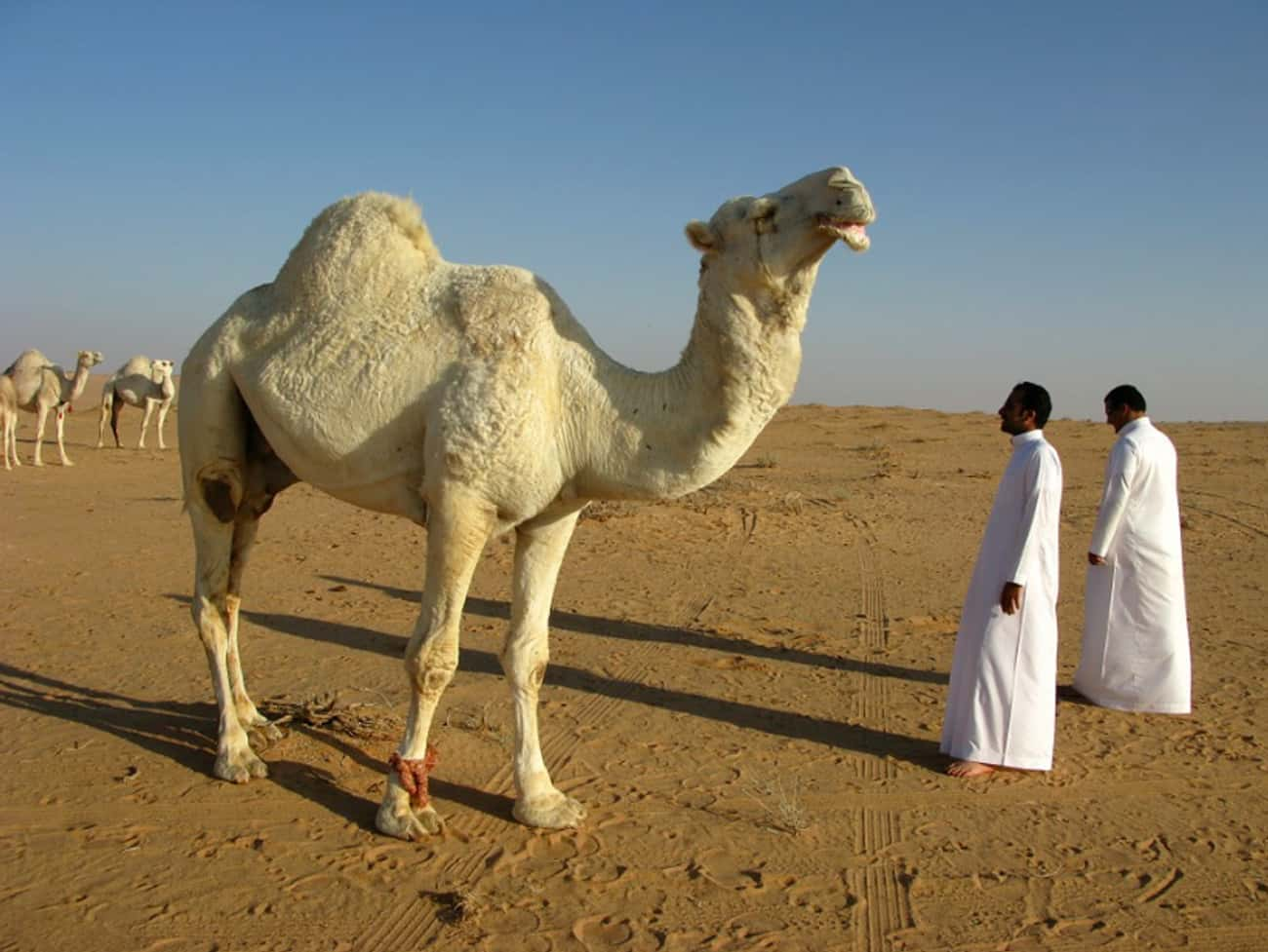 Saudi Arabia Imports Camels fr is listed (or ranked) 3 on the list The Most Unbelievable True Facts Ever