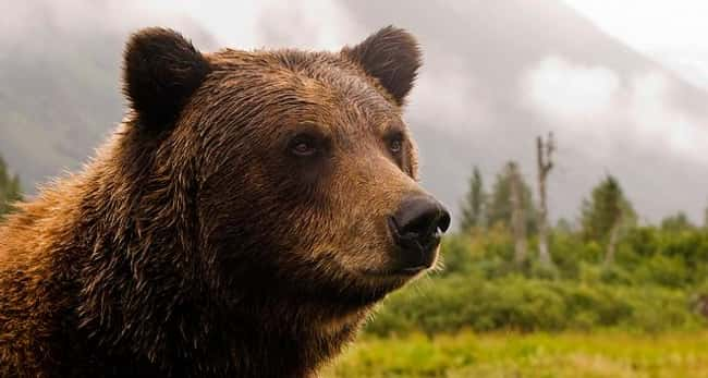 Grizzly Bears Can Smell Odors  is listed (or ranked) 13 on the list Weird Animal Facts That Will Make You Sad