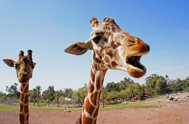 Giraffes Only Sleep 20-30 Minu is listed (or ranked) 6 on the list Weird Animal Facts That Will Make You Sad