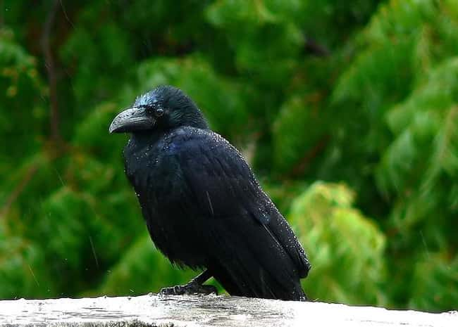 Crows Never Forget a Face is listed (or ranked) 10 on the list Weird Animal Facts That Will Make You Sad